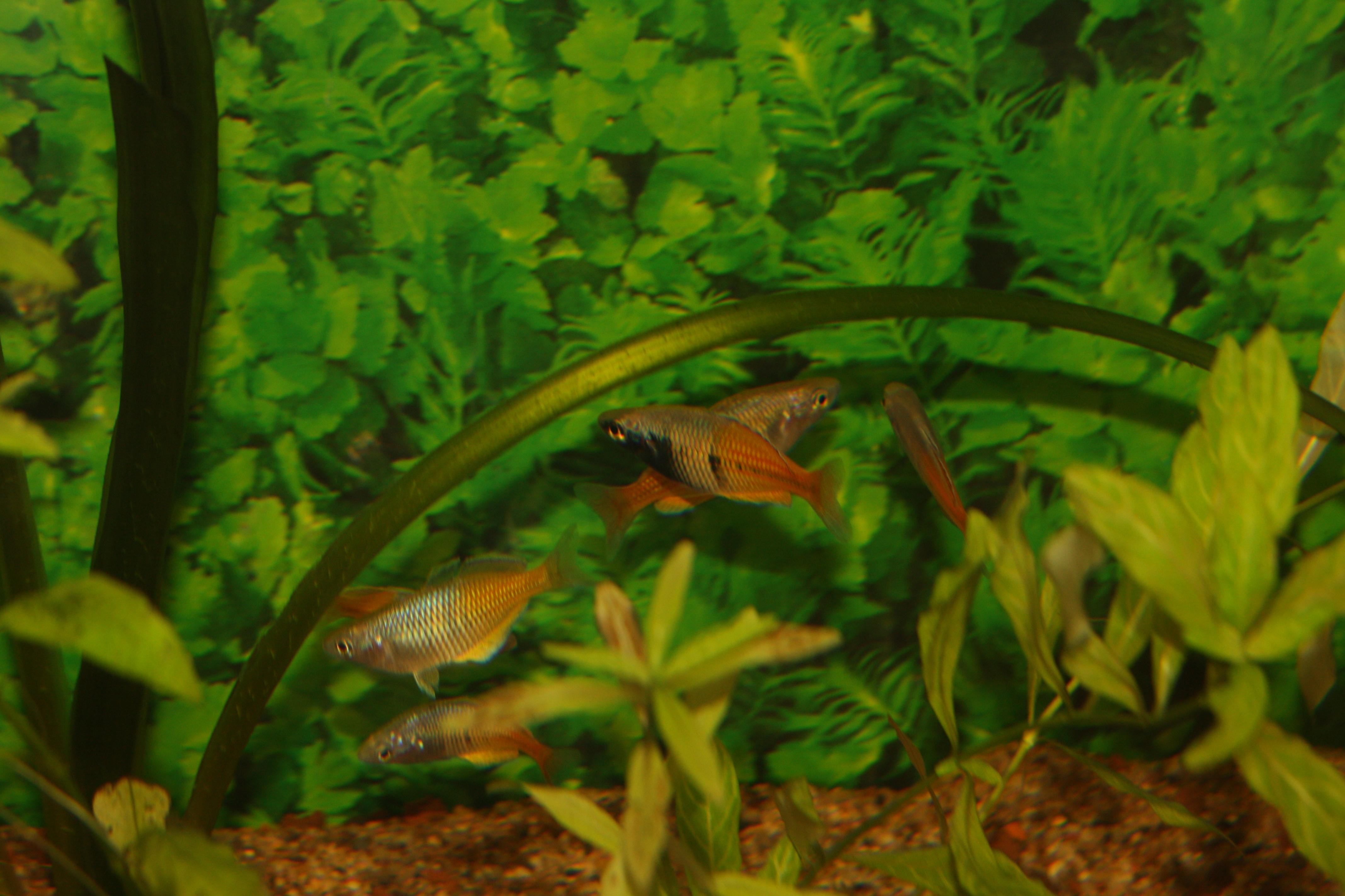 Les melanotaenia boesemani appelé poisson arc en ciel, ou rainbow fish en anglais