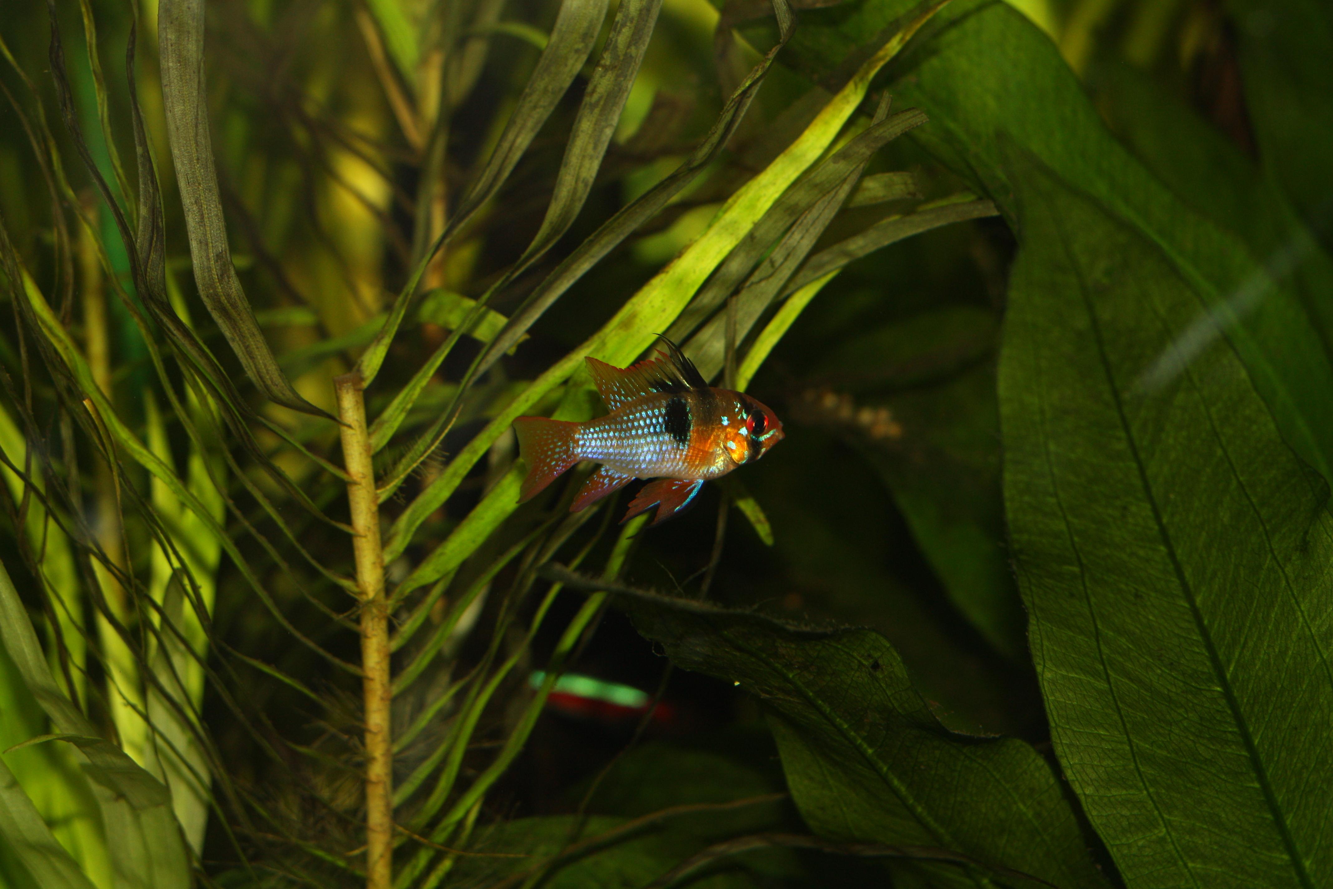 Voici un Ramirézi qui se trouve dans l'aquarium 800 litres Amazonien.